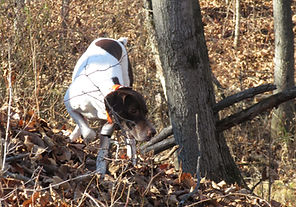 German Shorthaired Pointer on point at Flahety Field Trial Area, East Windsor, CT., Dog Trial Area