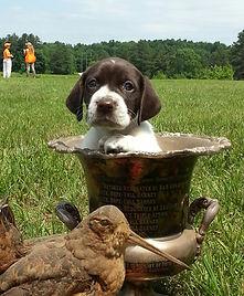 Nutmeg German Shorthaired Pointer Club, CT, GSP, Dog Trials, Dog Shows, GSP Puppy