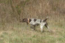 Nutmeg German Shorthaired Pointer Club, CT, GSP, Dog Trials, Dog Shows, GSP On Point