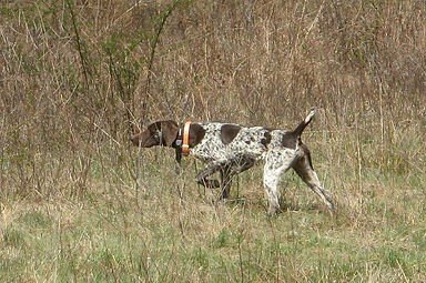 Nutmeg German Shorthaired Pointer Club, CT, GSP, Dog Trials, Dog Shows, GSP On Point