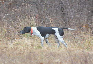English Pointer on point at Flahety Field Trial Area, East Windsor, CT., Dog Trial Area