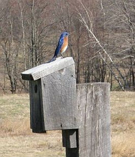 Bluebird on nesting box at Flaherty Field Trial Area, East Windsor, CT., Dog Trial Area