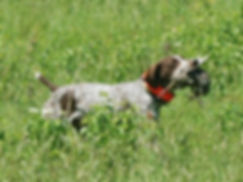 Nutmeg German Shorthaired Pointer Club, CT, Field Trial, Hunt Test, Dog Show, Dog, Horse, Bird, Puppies