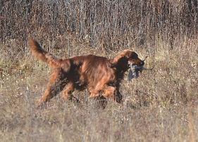 Irish Setter retrieving a bird at Flahety Field Trial Area, East Windsor, CT., Dog Trial Area