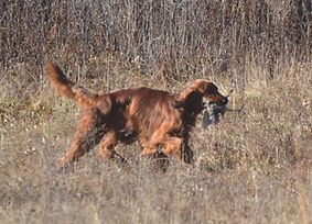 Irish Setter retrieving a bird at Flahety Field Trial Area, East Windsor, CT., Dog Trial Area