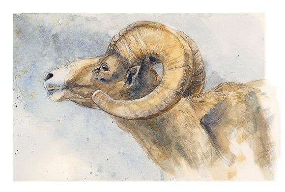 DESERT BIGHORN SHEEP_Study#2