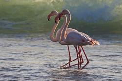 Flamingo, Luderitz, Namibia