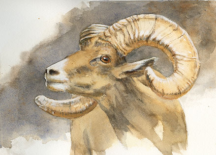 Desert Bighorn Sheep Ram watercolor painting by wildlife artist and photographer S.K.Schafer available at skydancestudio.com