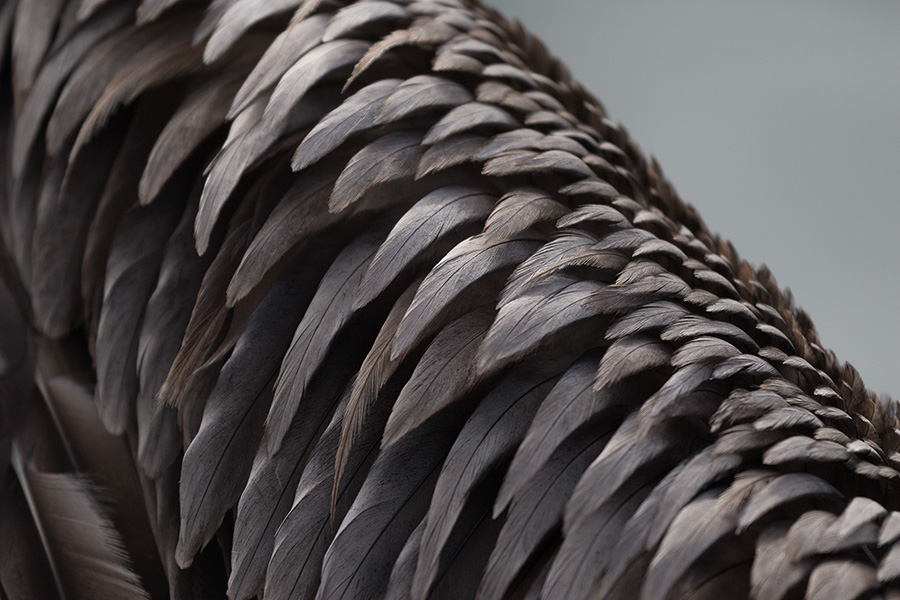 Brown Pelican-Wing Detail
