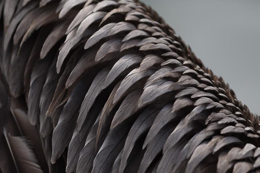 Brown Pelican-Wing Detail