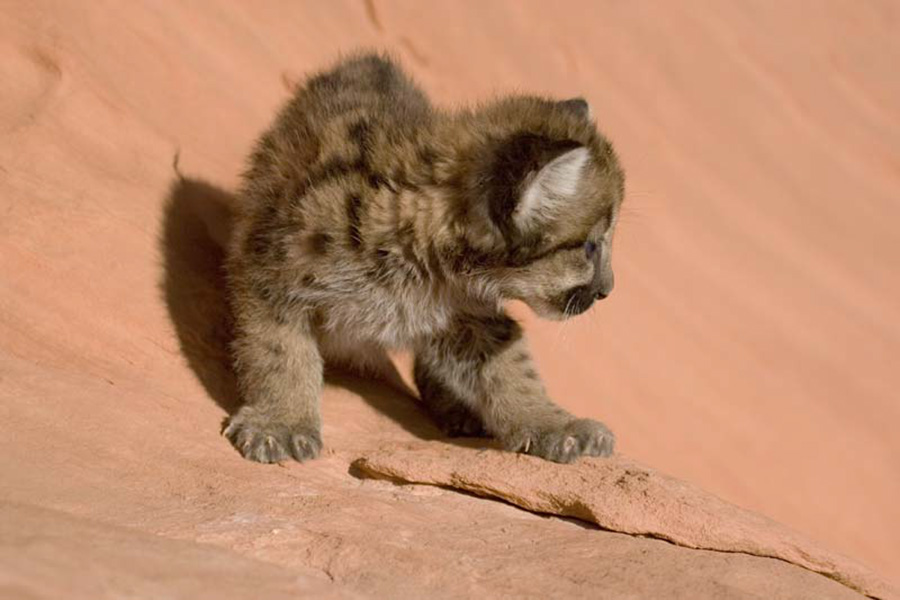 Mountain Lion - Cub