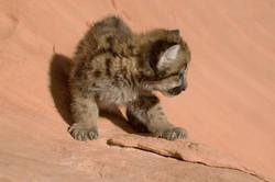 Mountain Lion - Cub