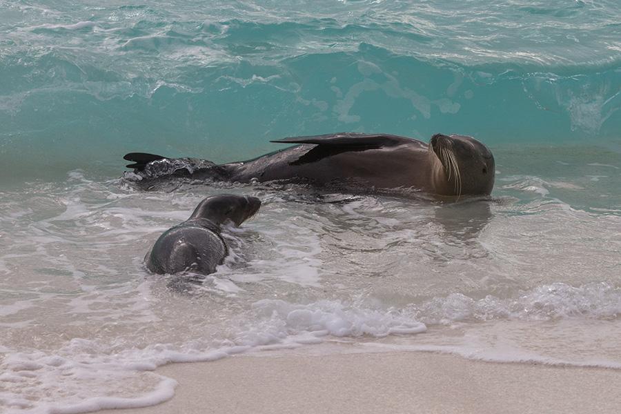 Galapagos Sea Lion and Pup
