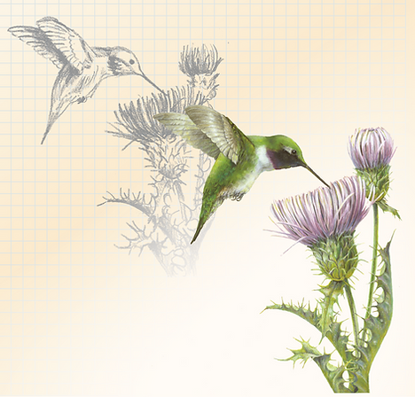 A Sip of Spring Black chinned Hummingbird and Mojave thistle gouache painting by wildlife artist and photographer S.K.Schafer available at skydancestudio.com