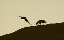 Coyote & Turkey Vulrure