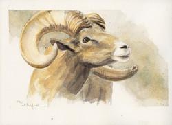 DESERT BIGHORN SHEEP_#1