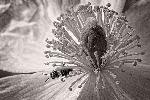 WHITE BEARPAW POPPY