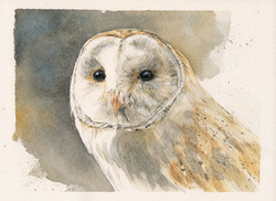 BARN OWL #4