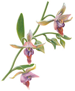 STREAM ORCHID