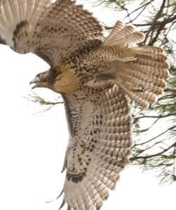 Redtail Hawk_Juvenile