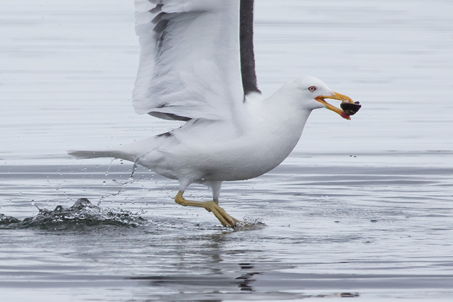 ANTARCTIC GULL