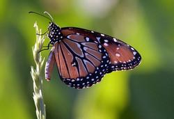 Monarch Buttergly