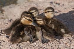 Mallard Ducklings