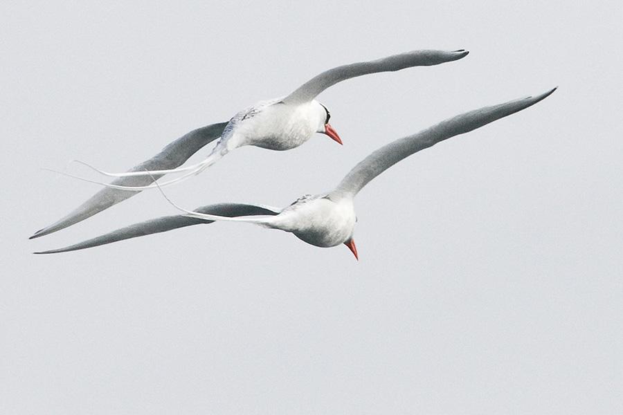 Red-billed Tropic Birds