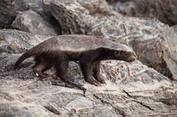 Honey Badger, Etosha NP, Namibia