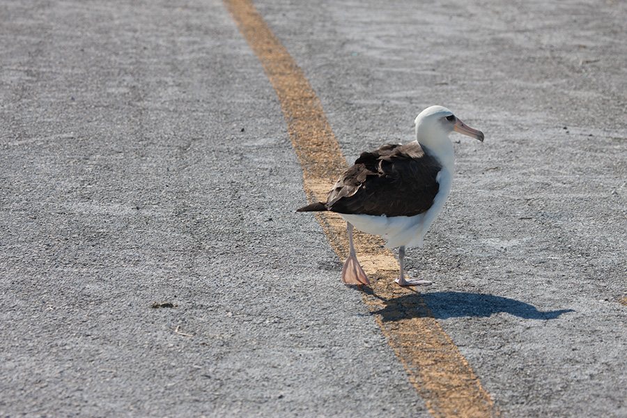 Laysan Albatross on Runway