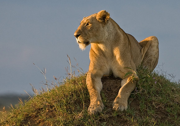 AFRICAN LION ON TERMITE MOUND