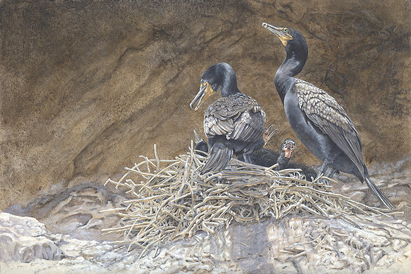 CANYON LIGHT: Double-crested Cormorants