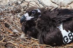 Juvenile Cinereous Vulture