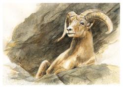 DESERT BIGHORN SHEEP_#4