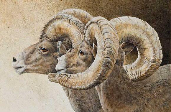 DAWN WATCH:Desert  Bighorn Sheep
