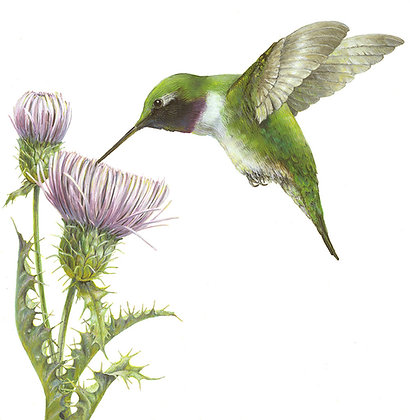 BLACK-CHINNED HUMMINGBIRD & MOJAVE THISTLE