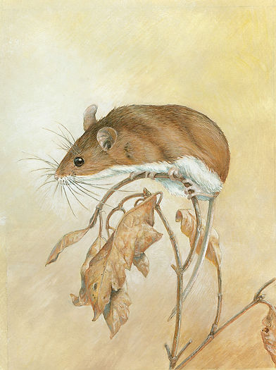 Deer Mouse Study a gouache painting by wildlife artist and photographer S.K.Schafer available at skydancestudio.com