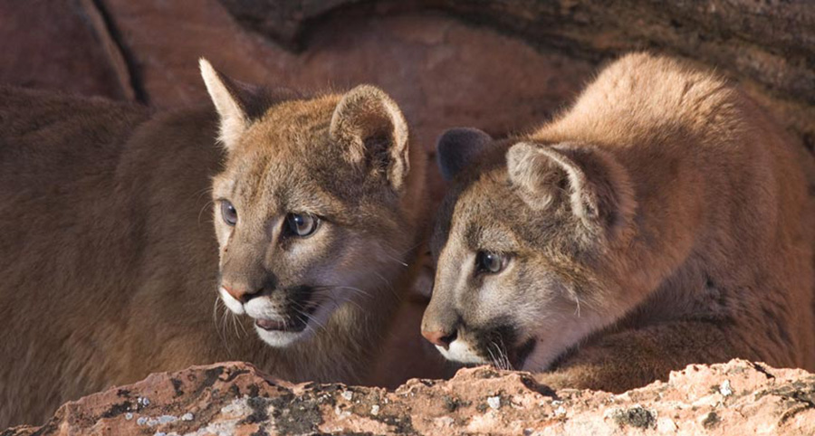 Mountain Lion_Yearling Brothers