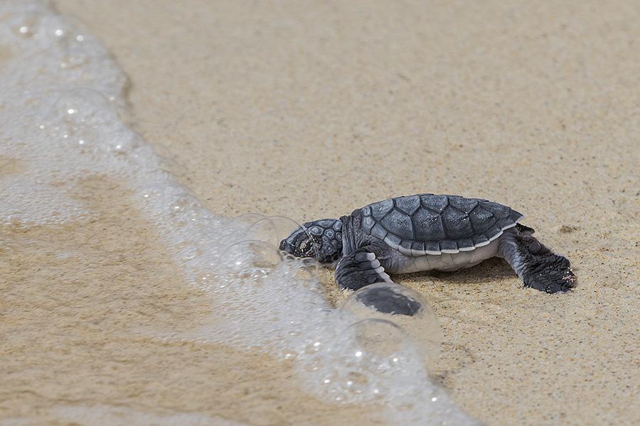 Green Sea Turtle Hatchling