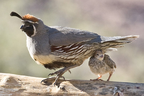 GAMBEL'S QUAIL and CHICK