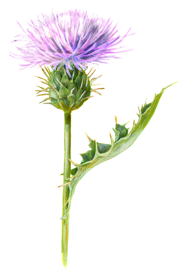 MOJAVE THISTLE