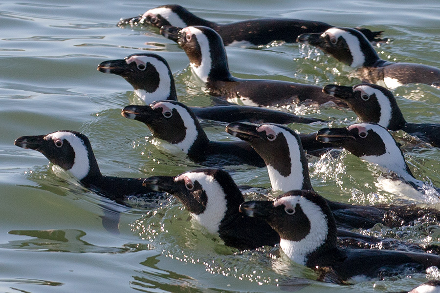 African Penguins, Luderitz, Namibia