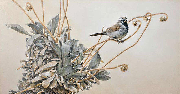 STUDY IN GRAY: Black-throated Sparrow