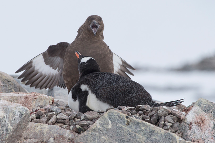 GENTOO PENGUIN AND ANTARCTIC SKUA