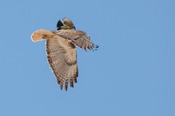 Western Kingbird and Retail Hawk