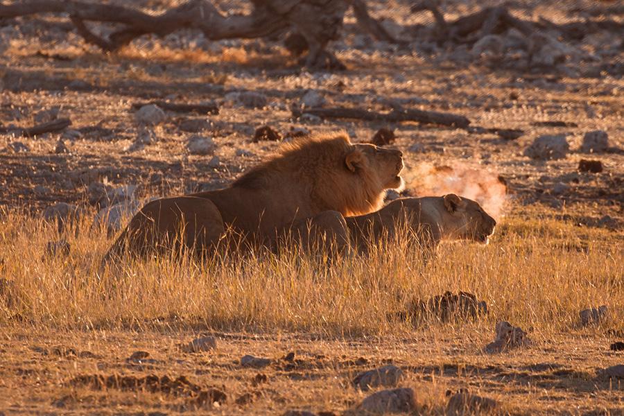 African Lions, Etosha NP, Namibia