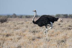 Ostrich , Etosha NP, Namibia