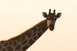 Savannah Giraffe, Etosha NP, Namibia