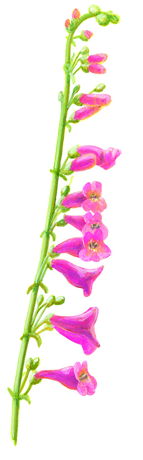 TWO-TONE PENSTEMON
