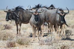Wildebeest, Etosha NP, Namibia